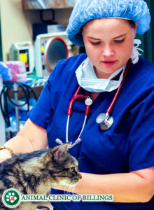 emergency veterinarian helping cat at vet hospital