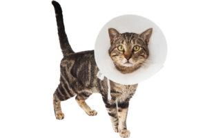 Cat wearing cone