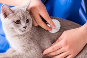Examining a cat