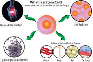 stem cell diagram