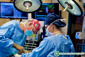 veterinarian in orthopedic surgery