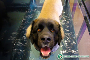 dog on underwater canine PRT hydrotherapy treadmill