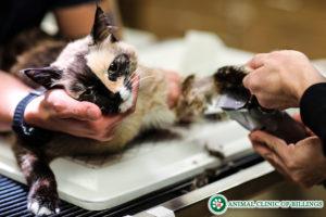cat surgery feline anestesia