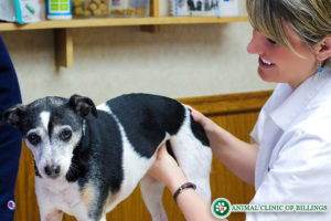 veterinarian checking dog for cancer tumors