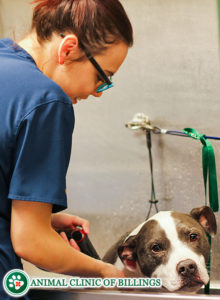 veterinarian washing and grooming a pet dog
