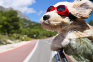 dog hanging out of a car wearing goggles