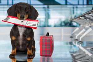 dog traveling on airplane