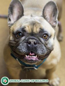 handsome french bulldog smiling