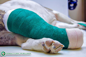 dog in cast with broken leg