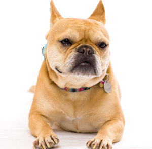 Nala the French Bulldog, a testament to the success possible with behavioral modifications