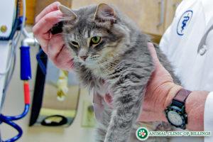 veterinarian fixing cat