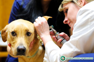 veterinarian looking in dogs ear
